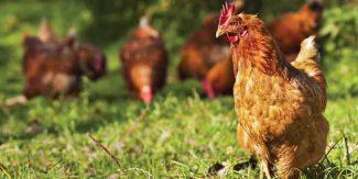 دیسی مرغی اعصابی قوت بڑھائے، وزن کم کرے
