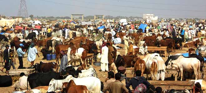 Caution! Swarms of mosquitoes present at cattle markets