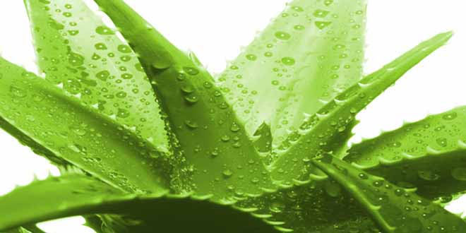 3-reasons-why-aloe-vera-is-good-for-you