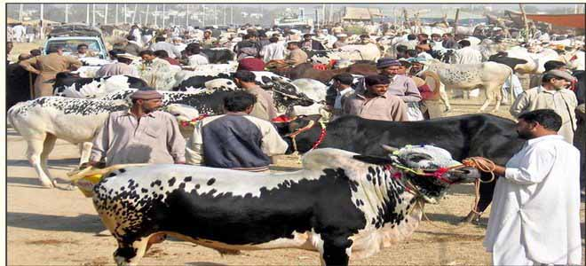 mianwali-sacrificial-animals-being-sold-at-exorbitant-prices[1]