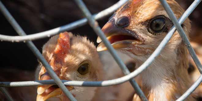 bird-flu-spreads-through-birds-migration[1]