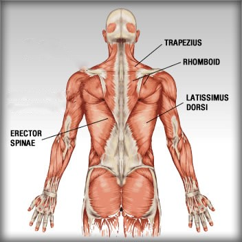 how to build trapezius muscles at home