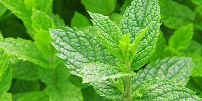 What Mint can Do to Your Body Inside Out?