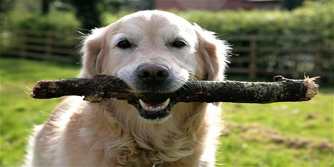 Wait, don't throw that stick to your dog! It could hurt him