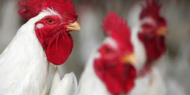 chicken scent decreases malaria symptoms